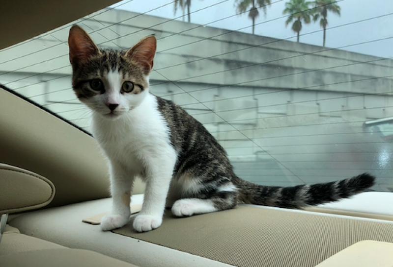 Kitten sitting in a car