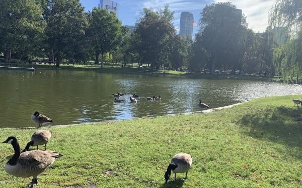 The Boston Commons pond- ft frolicking ducks
