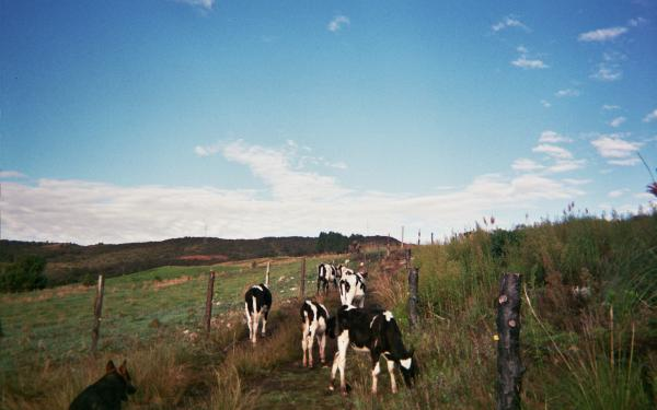 Ecuador landscape with cows